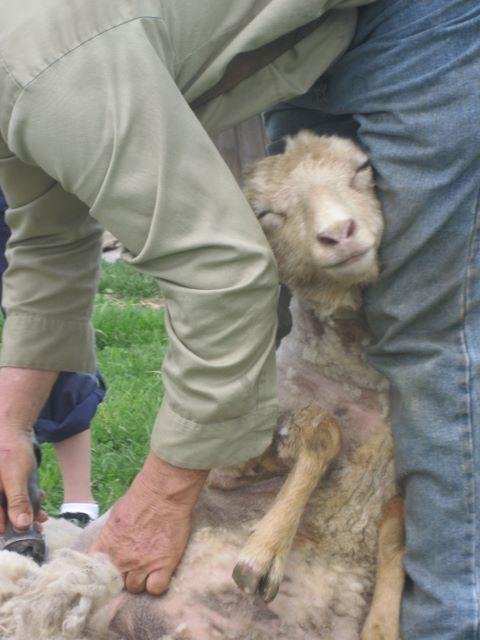 traditional sheep shearing